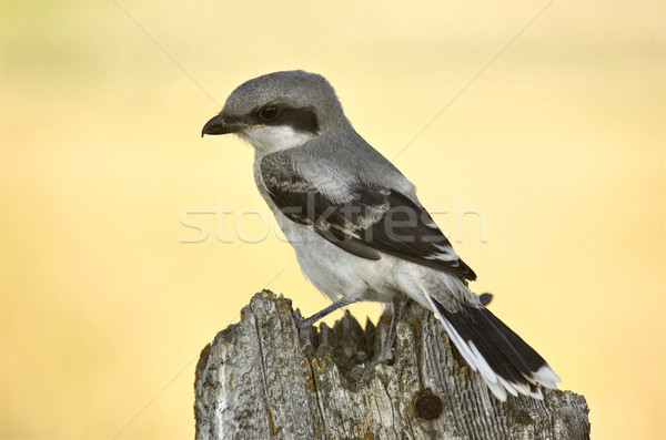 Gray Grey Jay Young Stock photo © pictureguy