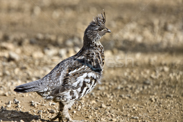 Spruce Grouse Stock photo © pictureguy