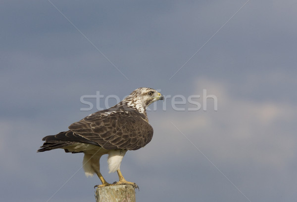 Ferruginous Hawk perched on Post Stock photo © pictureguy