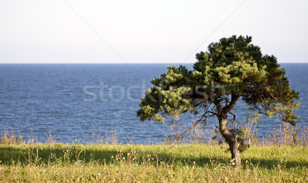 Lone Tree Stock photo © pictureguy