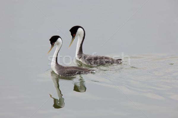 Western Grebe on Lake Stock photo © pictureguy