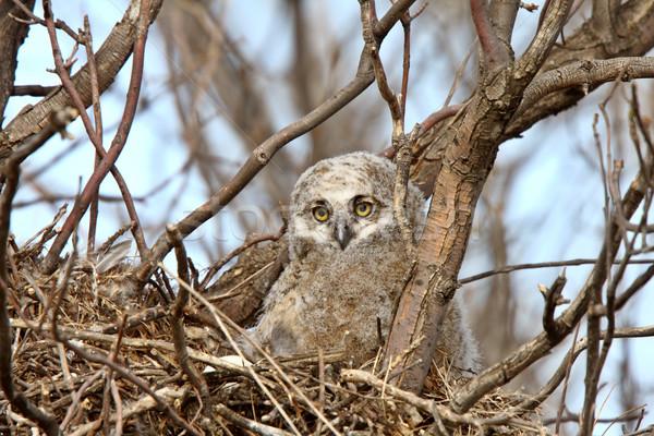 Stock photo: Great Horned Owl owlet in nest