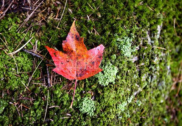 Suiker esdoorn Rood oranje kleur Stockfoto © pictureguy