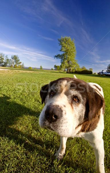 Saint Bernard dog on Hecla Island Manitoba Stock photo © pictureguy