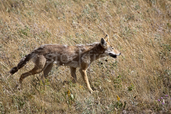 Coyote in Waterton Lakes National Park of Alberta Stock photo © pictureguy