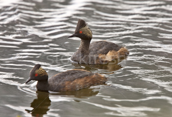 Horned Grebe  Stock photo © pictureguy