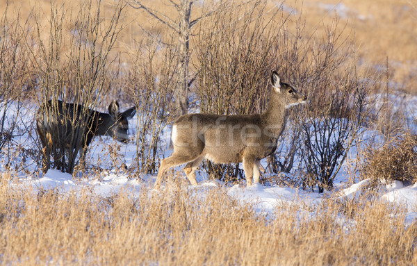 оленей зима Саскачеван Канада живописный лес Сток-фото © pictureguy