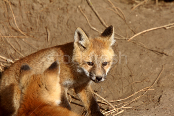 Red Fox pups outside their den Stock photo © pictureguy