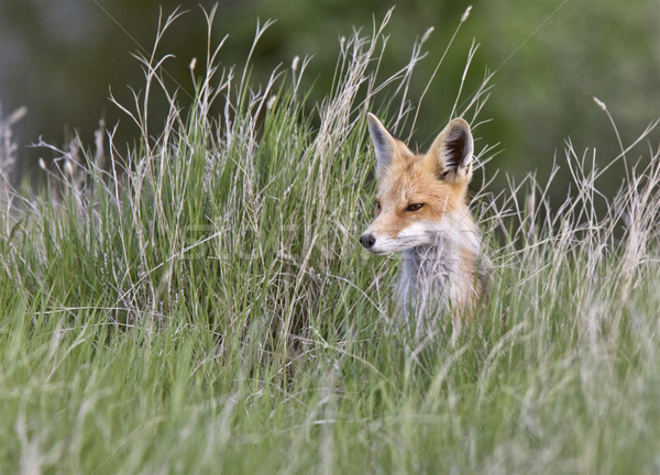 Young Fox Kit Stock photo © pictureguy