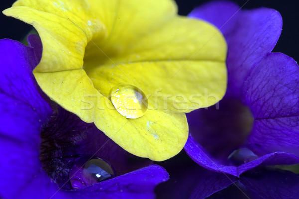 Manhã glória macro estúdio flor Foto stock © pictureguy