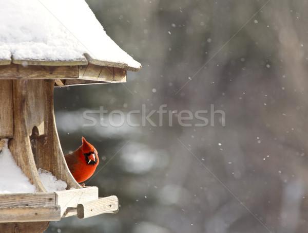 Vogel sneeuwstorm Canada mannelijke Rood sneeuw Stockfoto © pictureguy