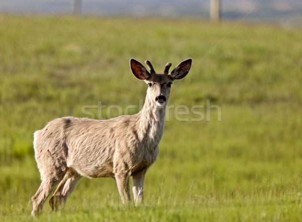 男性 バック 鹿 小さな サスカチュワン州 カナダ ストックフォト © pictureguy