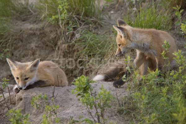 Jeunes Fox jouer saskatchewan Canada Photo stock © pictureguy