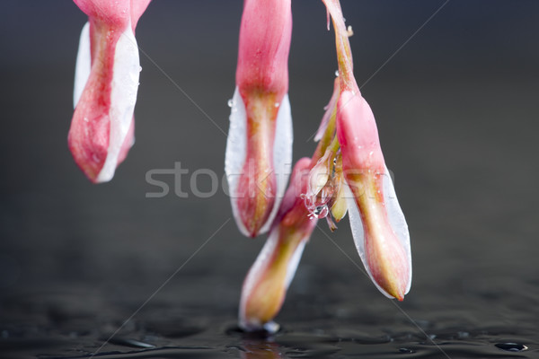 Stock photo: Macro Bleeding Heart