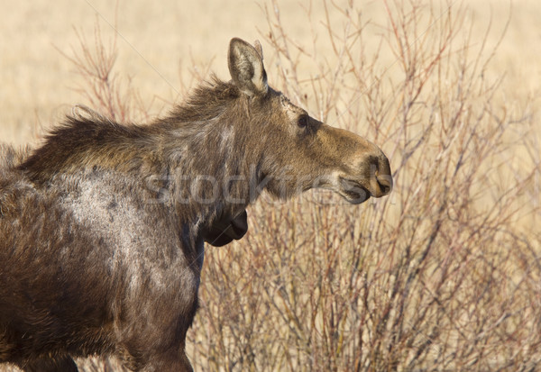 Moose mucca saskatchewan Canada natura panorama Foto d'archivio © pictureguy