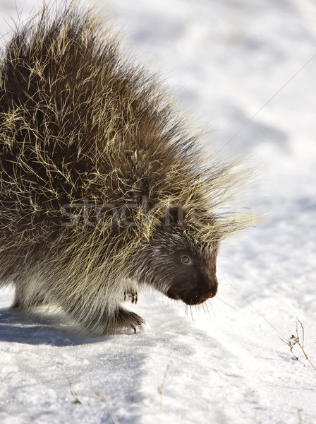 Porcupine in winter Stock photo © pictureguy