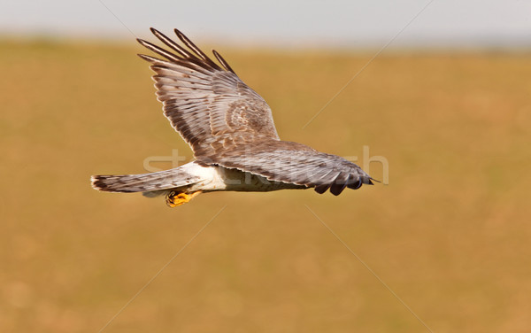 Nord vol saskatchewan ciel oiseau volée Photo stock © pictureguy