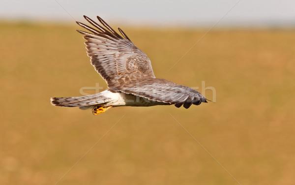 Northern Harrier in Flight Stock photo © pictureguy