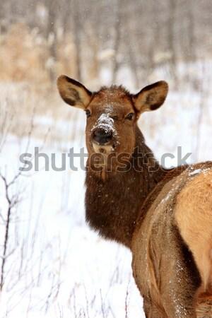 Elk in Winter Canada Stock photo © pictureguy