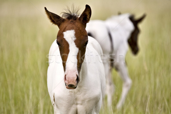 Horse mare and colt Saskatchewan Field Stock photo © pictureguy