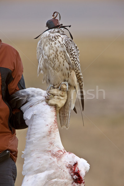 Gyrfalcon and kill snow goose Stock photo © pictureguy