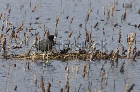 Stock fotó: Kék · kócsag · mocsár · Saskatchewan · Kanada · víz