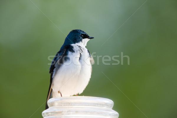 Tree Swallow Stock photo © pictureguy