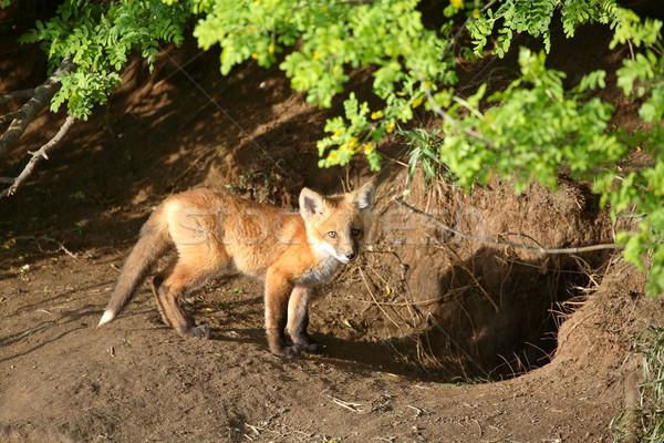 Fox kit by its den in Saskatchewan Stock photo © pictureguy
