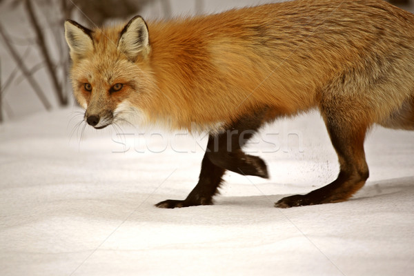 Red Fox in winter Stock photo © pictureguy