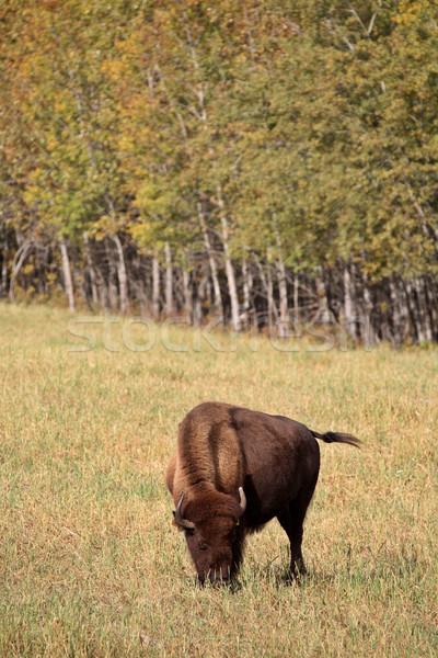 Bisonte scenico centrale saskatchewan colore digitale Foto d'archivio © pictureguy