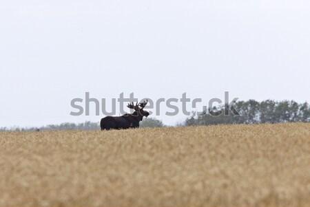 Stock fotó: Préri · jávorszarvas · mező · Saskatchewan · Kanada · fű