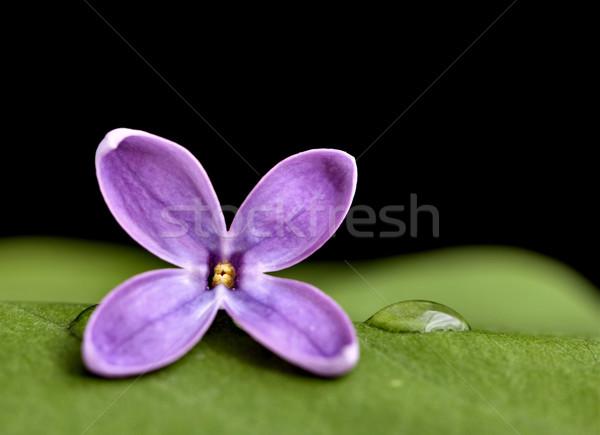 Lila estudio macro gotas de agua flor Foto stock © pictureguy
