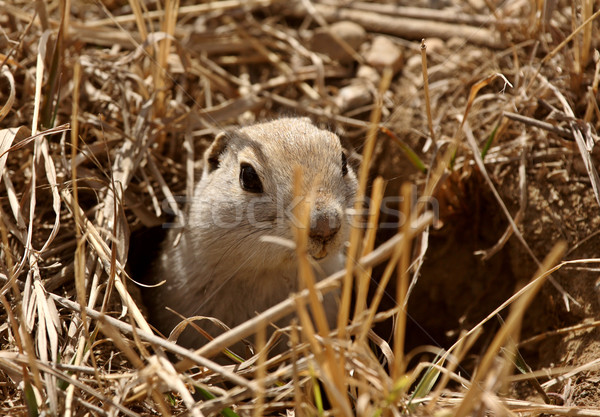 Gopher peaking out of burrow in spring Stock photo © pictureguy