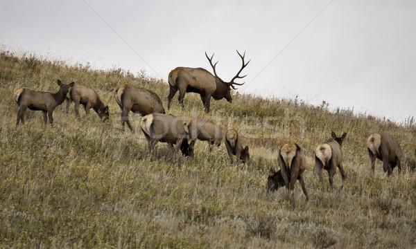 Wild Elk in Alberta Stock photo © pictureguy