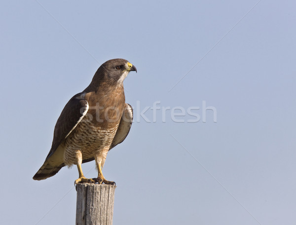 Swainson Hawk Stock photo © pictureguy