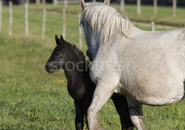 Horses in Pasture Stock photo © pictureguy