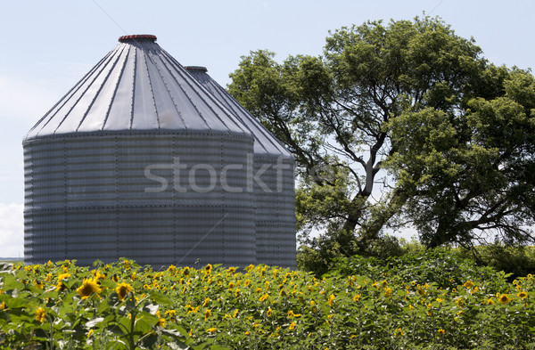Sunflower Field Manitoba Stock photo © pictureguy
