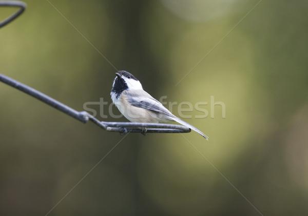 ストックフォト: カナダ · 小 · 鳥 · オンタリオ · 自然 · 黒