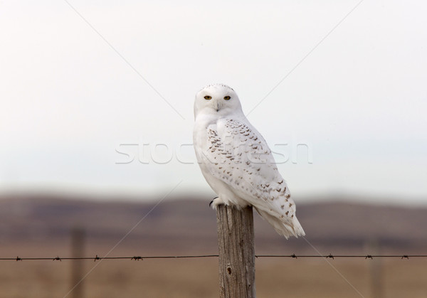 Snowy Owl on Fence Post Stock photo © pictureguy