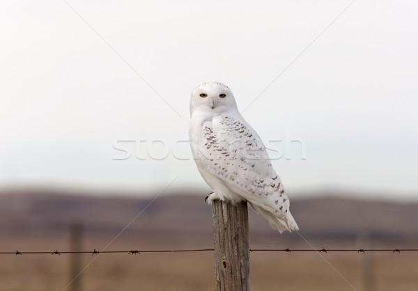 Uil hek post winter Canada natuur Stockfoto © pictureguy