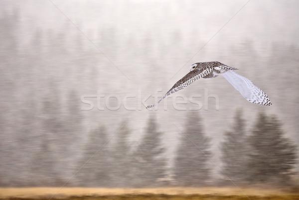 Snowy Owl in Alberta Stock photo © pictureguy