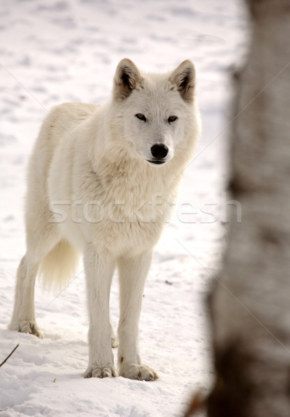 Lobo invierno color animales pie Foto stock © pictureguy