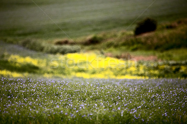 Stock photo: Flax and canola crop