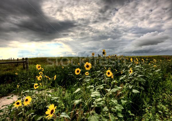 Nubes de tormenta saskatchewan amarillo borde del camino flores cielo Foto stock © pictureguy