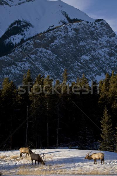 Wild Elk in Winter Stock photo © pictureguy