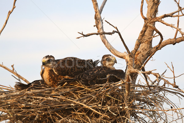 Young hawks in nest Stock photo © pictureguy