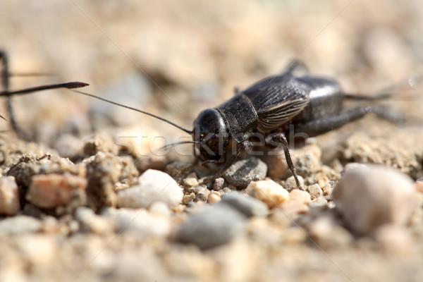 Cricket saskatchewan colore animale Foto d'archivio © pictureguy