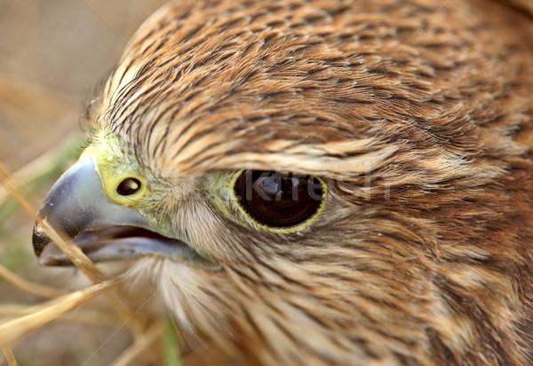 Közelkép fiatal festői Saskatchewan madár fotó Stock fotó © pictureguy