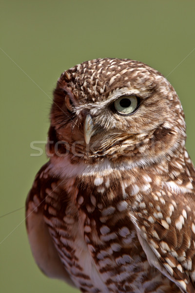Burrowing Owl looking at you Stock photo © pictureguy