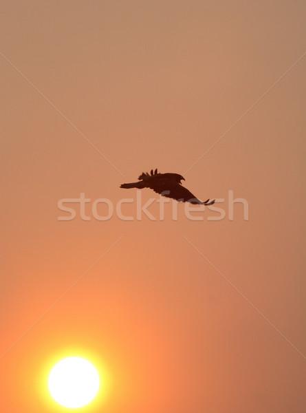Halcón toma vuelo escénico saskatchewan aves Foto stock © pictureguy